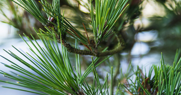 composting pine needles