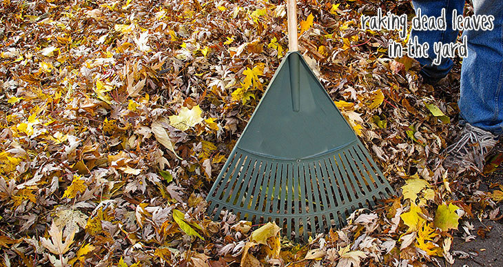 raking up dead leaves